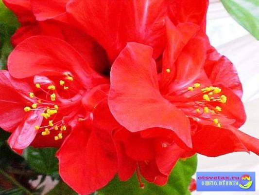 комнатная роза дерево уход в домашних условиях фото