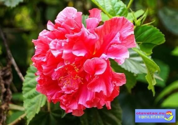 цветок комнатная роза уход в домашних условиях