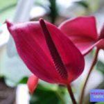 как выглядит цветок антуриум фото