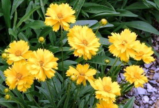 кореопсис цветок многолетний фото