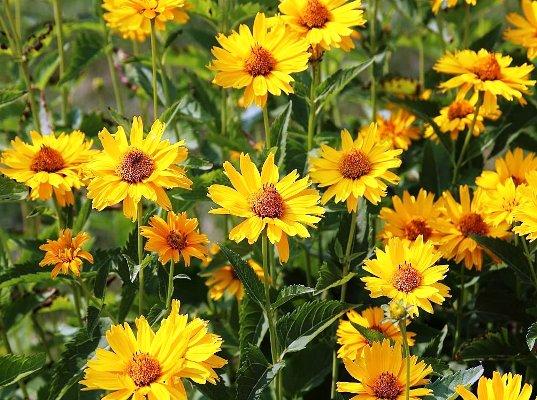 многолетние цветы фото и название неприхотливые