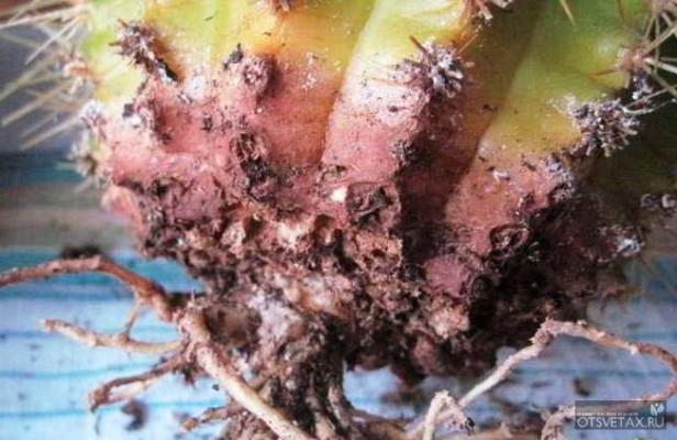 кактусы виды фото с названиями уход болезни