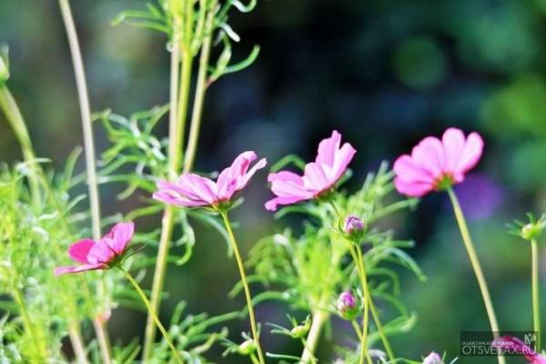 космея выращивание из семян когда сажать отзывы