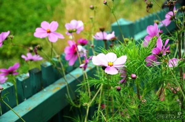 космея выращивание из семян когда сажать фото