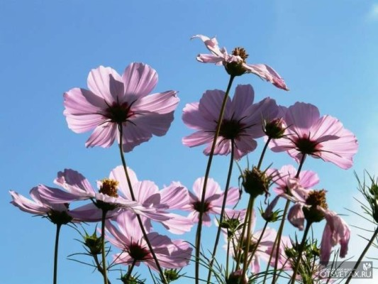 космея выращивание из семян когда сажать многолетник