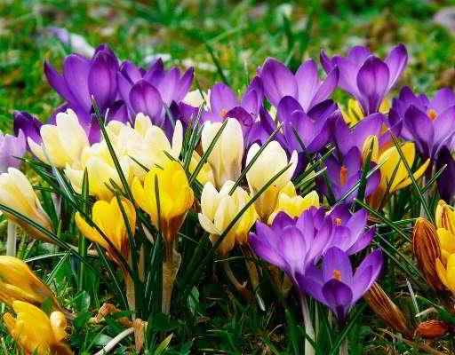 садовый многолетний цветок