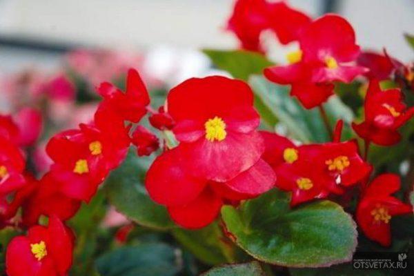 янтарная кислота для комнатных растений форум