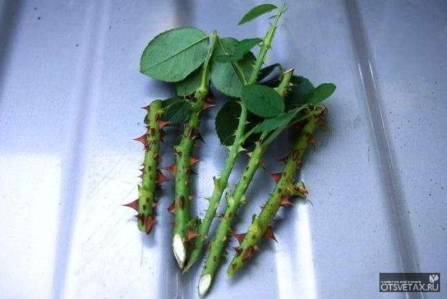 разведение роз черенкованием осенью