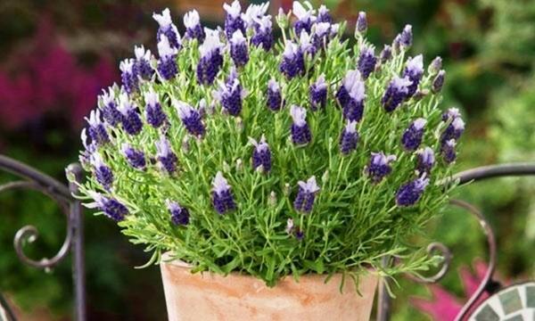 вырастить лаванду из семян в домашних условиях