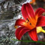 лилейник оранжевый фото