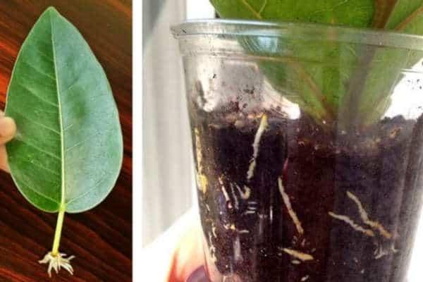 фикус размножение листом в домашних условиях