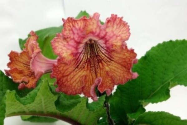стрептокарпус выращивание и уход в домашних условиях