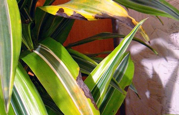 желтые листья у драцены причины