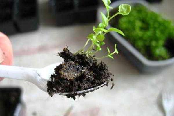 условия выращивания лобелии