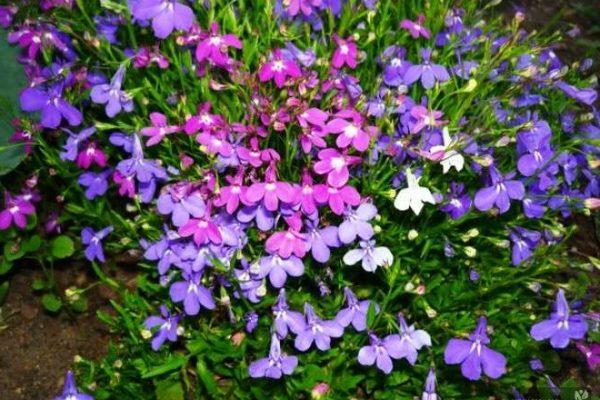 лобелия посадка и уход фото в саду