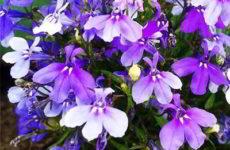 Лобелия – выращивание из семян, когда сажать на рассаду