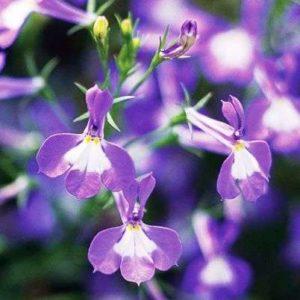 Лобелия из семян: как вырастить в домашних условиях