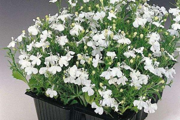 лобелия выращивание из семян в домашних условиях форум