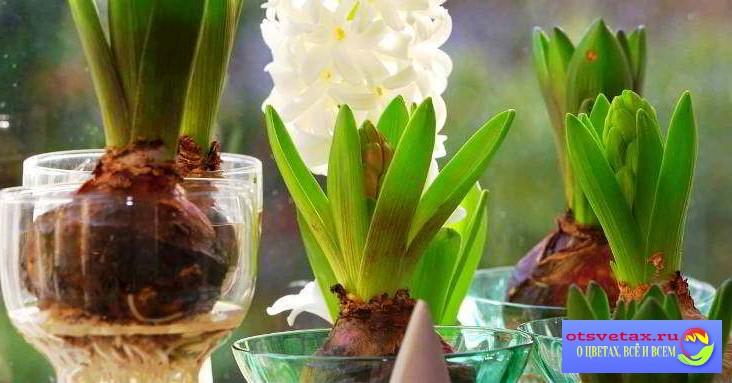 луковичные растения и цветы