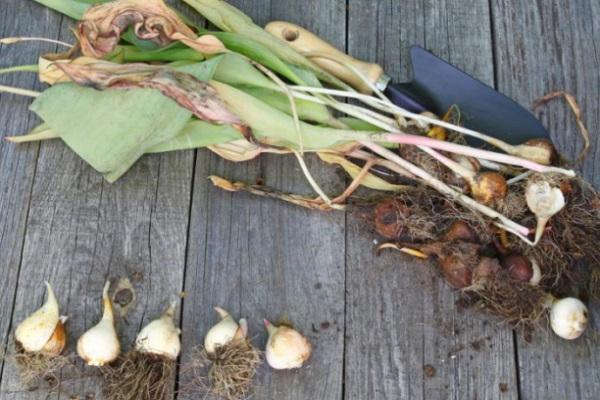 как правильно выкопать луковицы тюльпанов