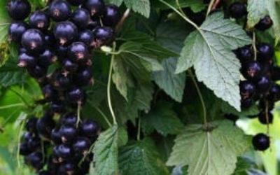 Посадка чёрной смородины осенью черенками, саженцами, кустами
