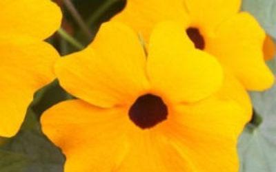 Тунбергия: выращивание из семян в домашних условиях