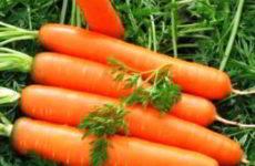 Морковь: посадка и уход в открытом грунте весной, осенью