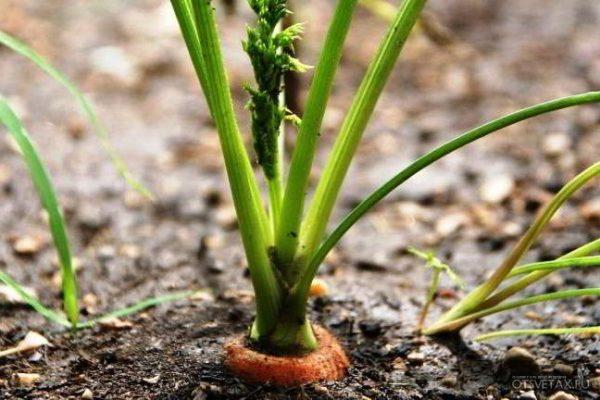 морковь посадка под зиму когда сажать