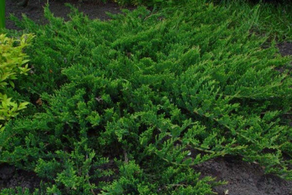 почвопокровные кустарники многолетники