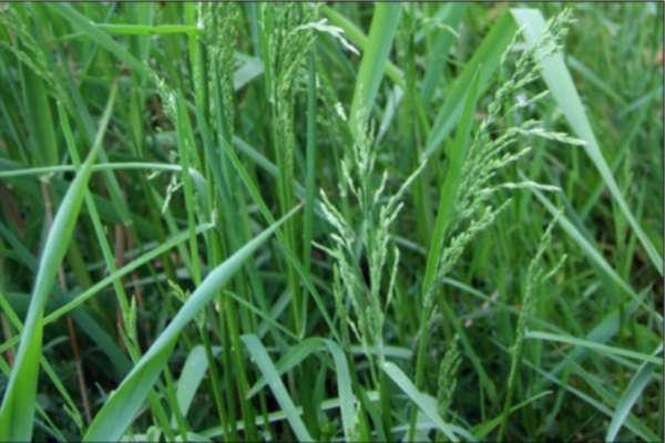 как сажать газонную траву весной