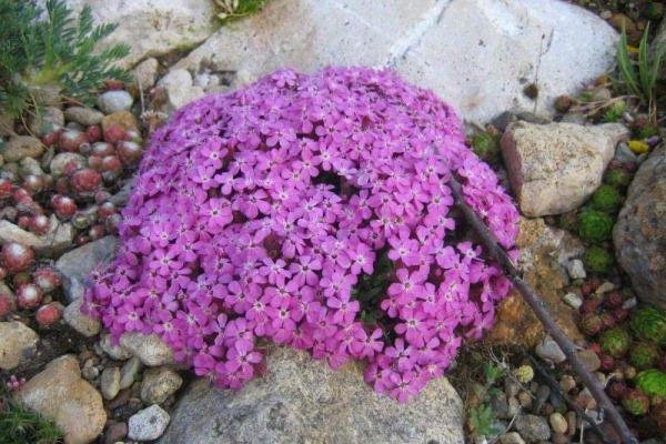 почвопокровные многолетники цветущие все лето