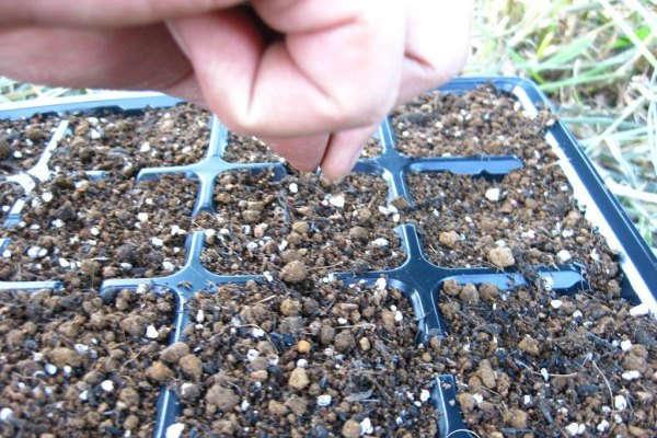 цветная капуста выращивание и уход в открытом грунте семенами