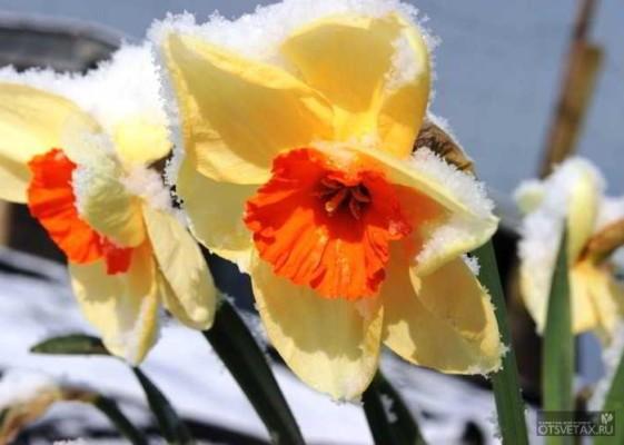 какие цветы сажают осенью на даче для цветения весной и летом одним цветом