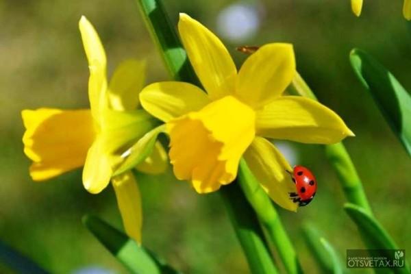 Нарцисс посадка и уход в открытом грунте в сибири