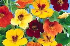 Настурция: правила выращивания из семян в домашних условиях