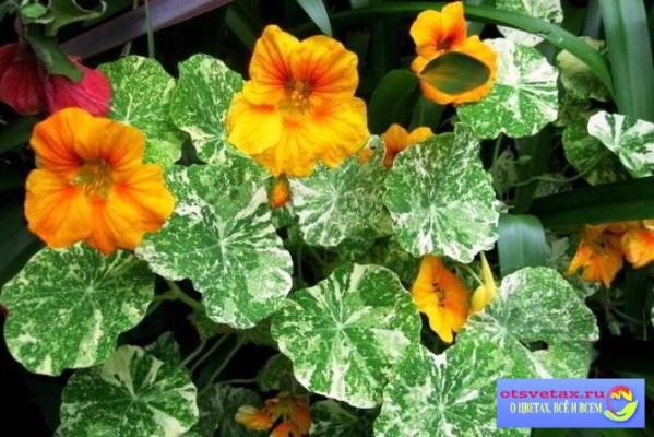 настурция выращивание из семян когда сажать на балконе
