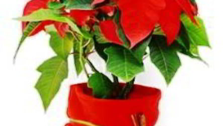 Пуансеттия рождественская звезда уход в домашних условиях