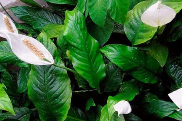 спатифиллум уход в домашних условиях желтеют листья