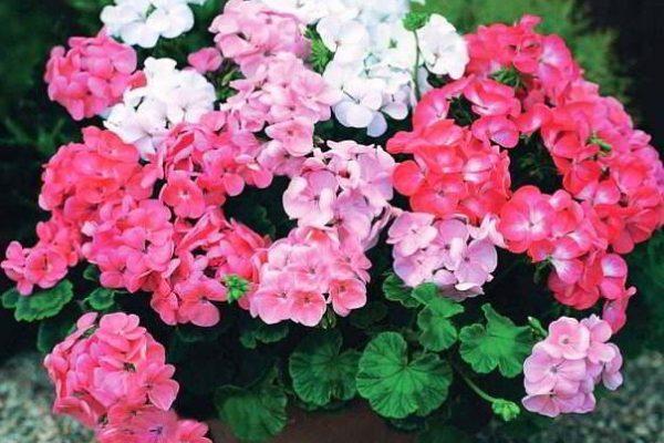 герань обрезка для пышного цветения