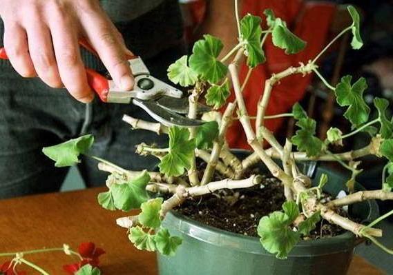 герань обрезка для пышного цветения фото