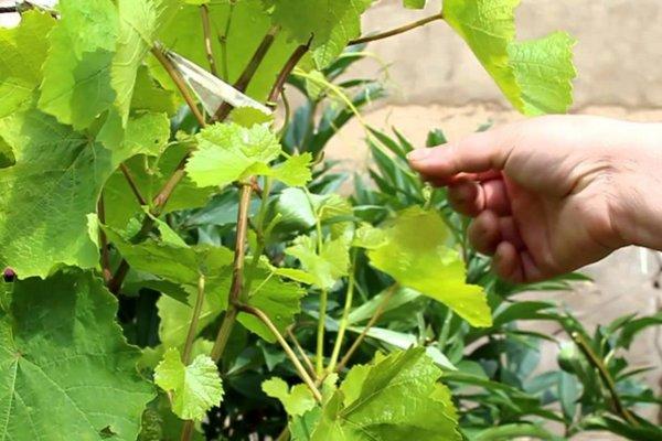 Обрезка винограда весной молодые кусты