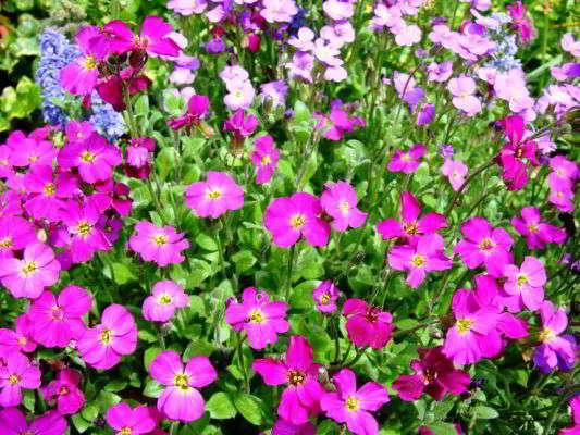 цветок обриета фото посадка
