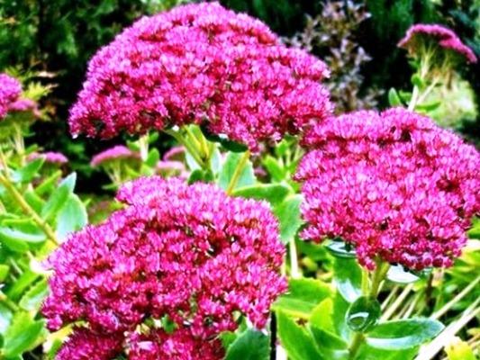 неприхотливые многолетники цветущие все лето фото