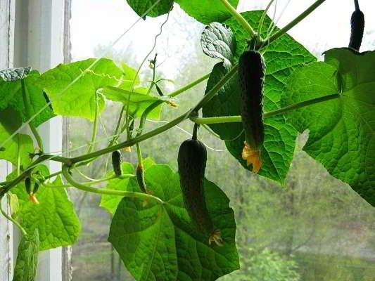 ошибки при выращивании огурцов в домашних условиях