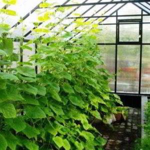Огурцы в теплице выращивание пошагово от А до Я