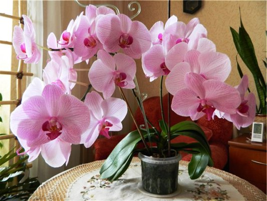цветущая орхидея уход