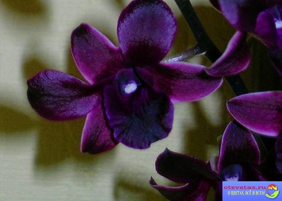 орхидея дендробиум нобиле уход в домашних условиях