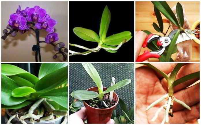 как размножить орхидею в домашних условиях видео фаленопсис