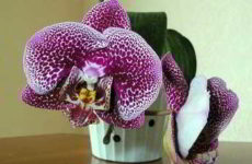 Особенности ухода за орхидеей фаленопсис