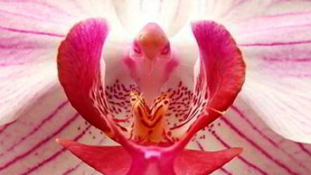 Знакомьтесь: орхидея – растение, покорившее мир
